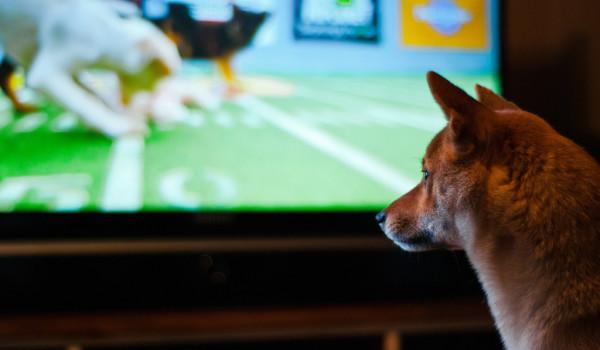 Сиба-ину смотрит телевизор