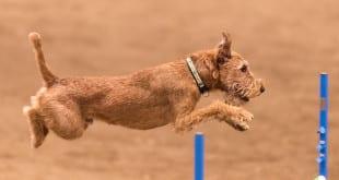 Терьер прыгает через барьер в аджилити