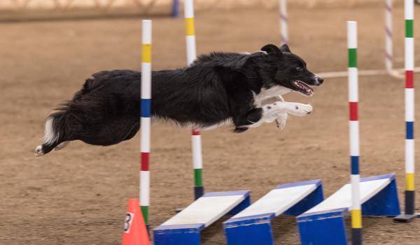 Собака прыгает через платформу в аджилити