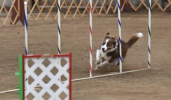 Собака проходит слалом в аджилити