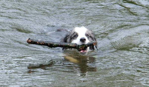 Собака плывет с палкой в зубах