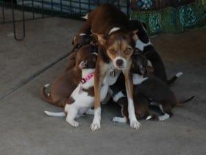 Собака с множеством щенков