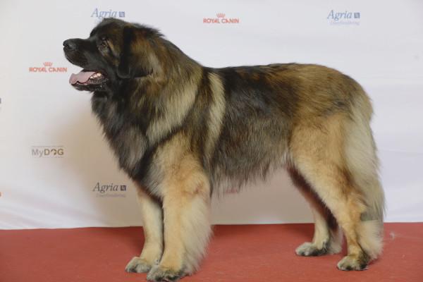 Леонбергер на выставке собак