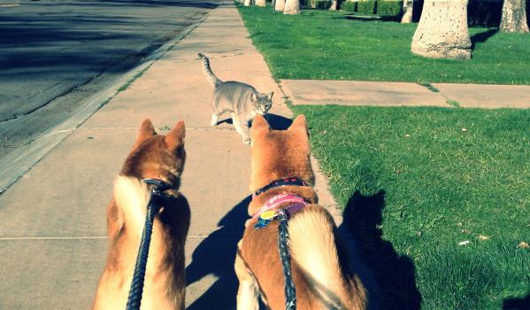 Собаки увидели кошку