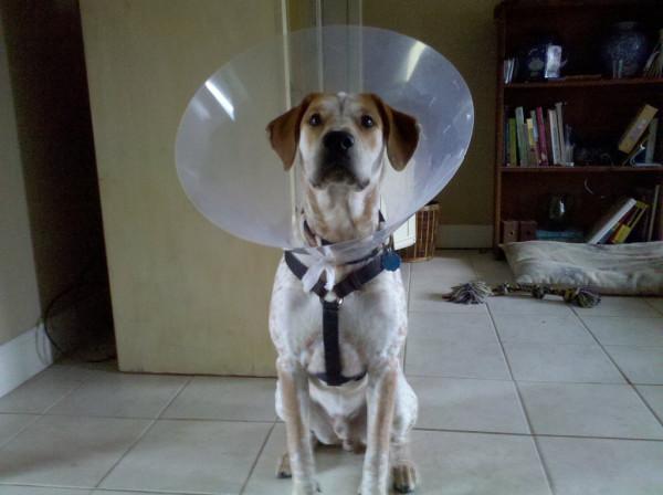 Собака в прозрачном пластиковом (елизаветинском) воротнике
