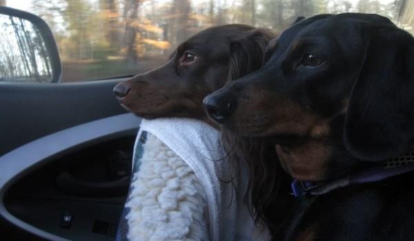 Две таксы едут в машине