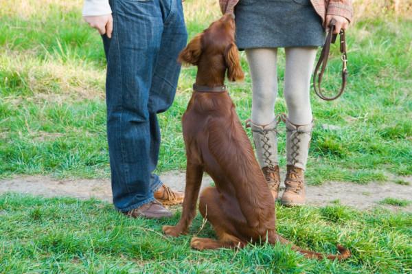 Собаку обучают сидеть с помощью поводка