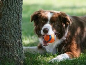 Бордер-колли с мячиком