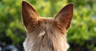 Собака навострила уши