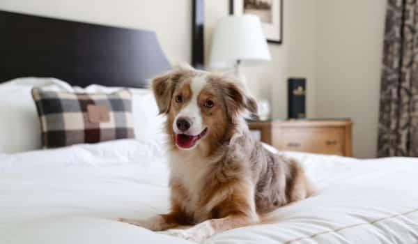 Собака на кровати в отеле