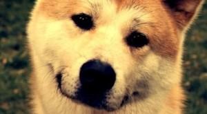 описание и характеристика породы собак акита ину