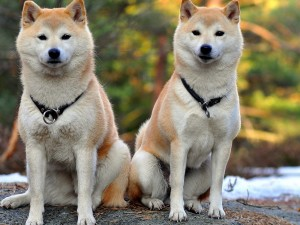 акиты - самурай среди собак