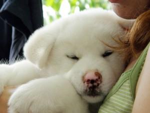 щенок акита-ину