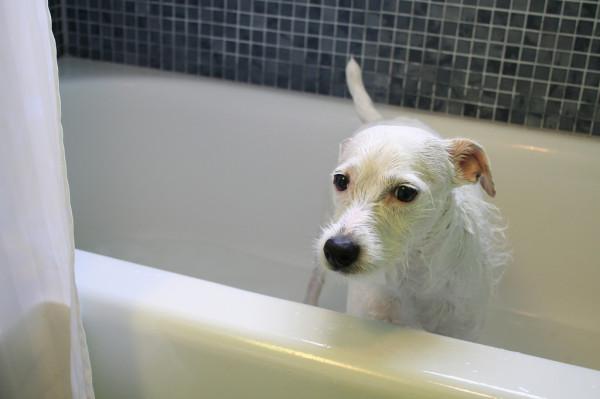 Белая собачка в ванне