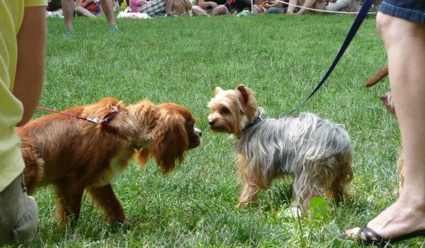 Привитые собаки знакомятся на выставке