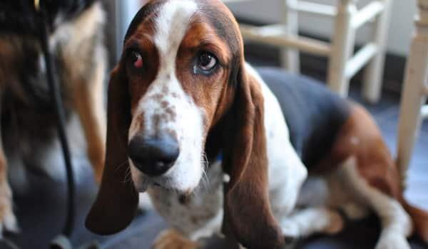 Больная собака с пиометрой