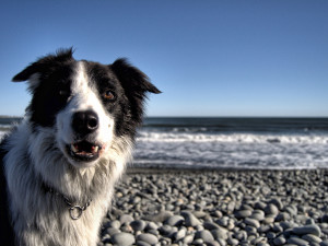 Бордер-колли на морском пляже