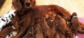 сколько беременные собаки ходят недель
