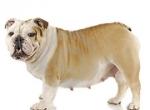 сколько примерно ходят беременные собаки