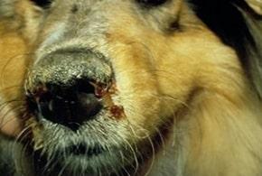 о симптомах чумы собак