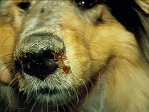 о симптомах чумы у собак