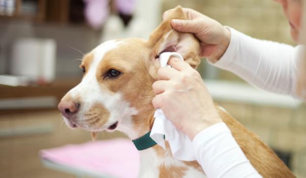 Собаке вытирают уши