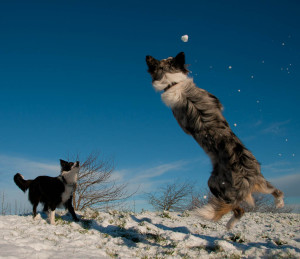 Два бордер-колли играют в снегу