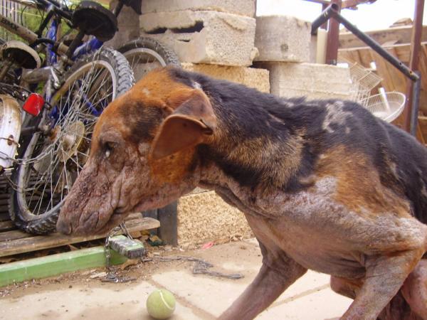 Генерализованный демодекоз у собаки