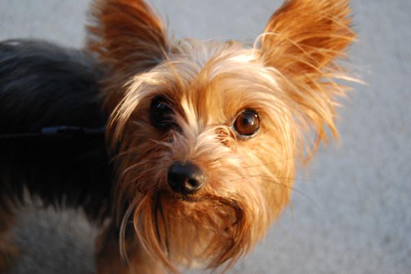 Бородатая собака с торчащими ушками