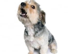 обучаем собаку команде голос
