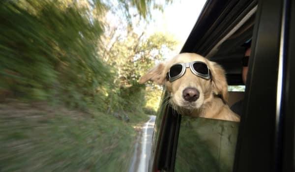 Собака в солнечных очках едет в машине