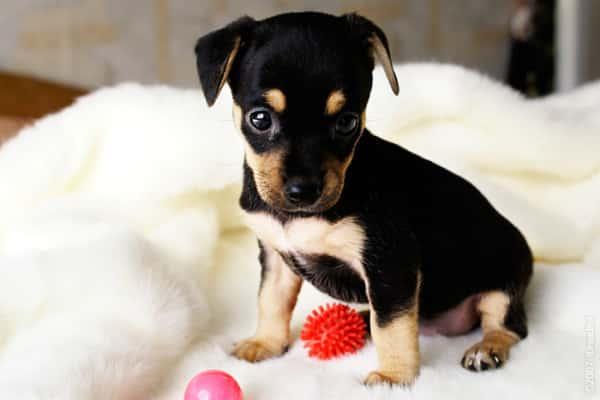 фото щенка карликового пинчера