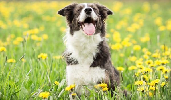 Счастливая собака на прогулке
