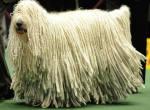 фото венгерской овчарки командор