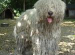 венгерская пастушья собака породы командор