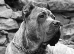 охранная и пастушья собака