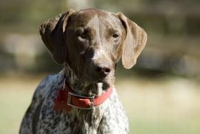 курцхаар популярная охотничья собака