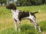 порода немецких собак курцхаар