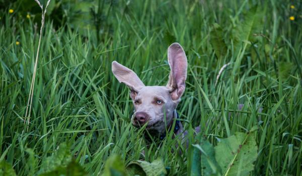 Щенок с огромными ушами