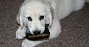Собака грызет тапочки