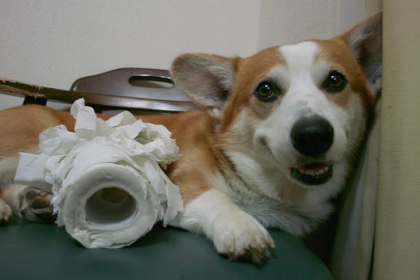 Вельш корги с погрызенным рулоном туалетной бумаги