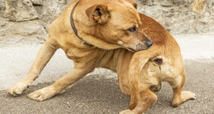 У собаки зуд из-за клещей