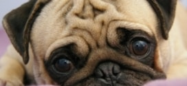 описание маленькой породы собак мопс
