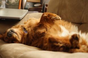 Золотистый ретривер лежит на спине на диване