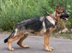 описание и цена щенков немецкой овчарки