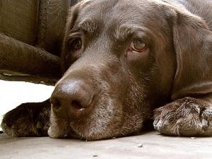 пироплазмоз у собаки симптомы и лечение