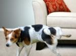 советы если собака стала писать дома