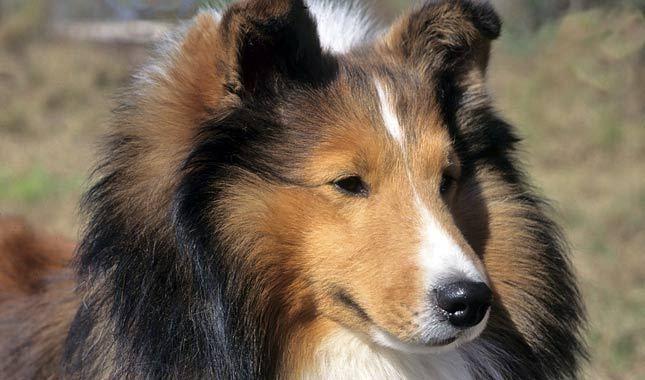 описание породы собак шелти