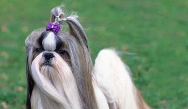 декоративная карликовая собачка