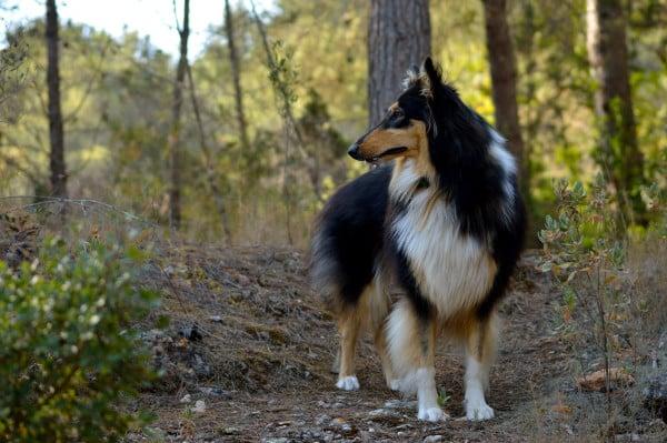 Колли на прогулке в лесу